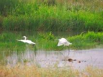 egrets fotografia stock