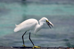 Egrets await fishing catch Royalty Free Stock Images