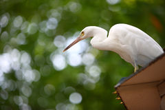 Egrets bianchi fotografie stock