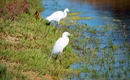 Egrets bianchi fotografia stock