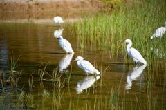 Egrets bianchi fotografie stock libere da diritti