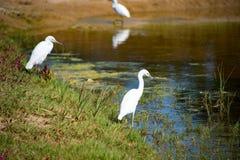 Egrets bianchi immagini stock