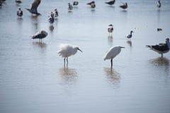Egrets bianchi immagine stock