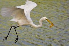 Egrets bianchi predatori fotografia stock
