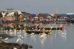 Birds and humans in fishing harbour. Egrets birds and humans in fishing harbour ponnani kerala india Stock Images