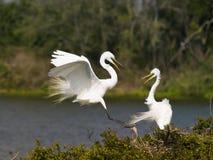 Egrets brancos Imagens de Stock
