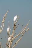Egrets brancos fotografia de stock