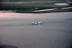 Egrets brancos que procuram pelo alimento nos riverbanks Imagens de Stock