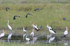 Egrets, cigüeñas y spoonbill negros Foto de archivo libre de regalías