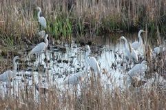 Egrets comunes Imagen de archivo