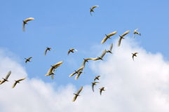 Egrets crossing the sky Stock Image
