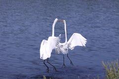Egrets da dança imagens de stock royalty free