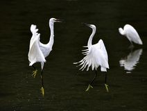 Egrets dance Royalty Free Stock Photo
