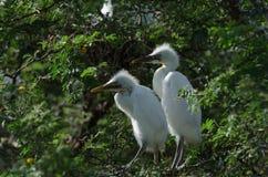 Egrets de gado imagens de stock