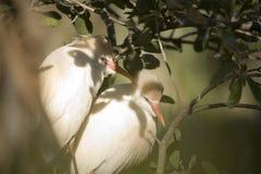 Egrets de ganado Imagen de archivo libre de regalías