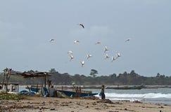 Egrets de ganado sobre la playa de Tanji Fotografía de archivo