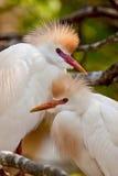 Egrets di bestiame (Bubulcus Ibis) Immagine Stock Libera da Diritti