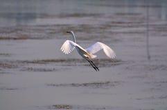 Egrets di Pechino fotografia stock