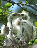 Egrets do bebê Fotografia de Stock