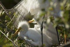 Egrets do bebê que descansam sob penas de cauda de um adulto, Florida Foto de Stock