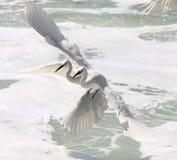 Egrets durante il volo Fotografia Stock