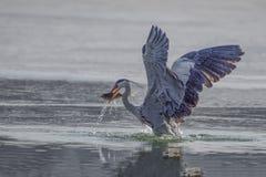 Egrets e garças-reais Foto de Stock Royalty Free