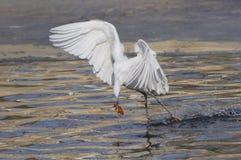 Egrets e garças-reais Fotografia de Stock Royalty Free