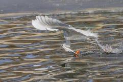 Egrets e garças-reais Fotos de Stock