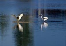 Egrets ed area umida fotografia stock