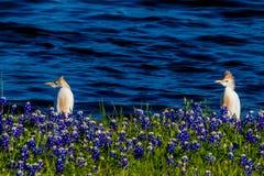 Egrets em Texas Bluebonnets no lago Travis na curvatura de Muleshoe em T fotos de stock royalty free