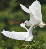 Egrets are feeding. The egrets are feeding Stock Images
