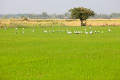 Egrets feeding in Paddy Field Royalty Free Stock Images