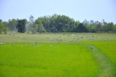 Egrets feeding in Paddy Field Royalty Free Stock Photo