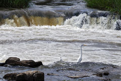 Egrets fishing in the river Paranapanema Stock Photos