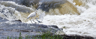 Egrets fishing in the river Paranapanema Royalty Free Stock Image