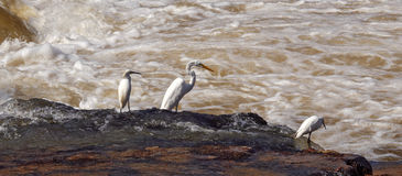 Egrets fishing in the river Paranapanema Royalty Free Stock Photo