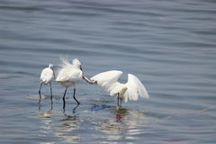 Egrets fishing Stock Photos