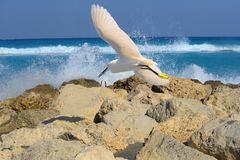 Egret Flies Over the Rocks on Boca Raton Beach, Florida. Egrets flies over the Boca Raton Beach with a Small Fish in Her Beak Stock Image