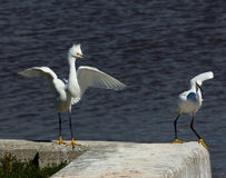 Egrets In Flight Royalty Free Stock Photo