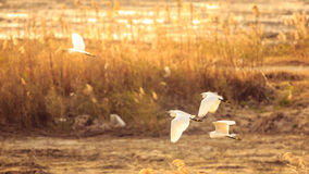 Egrets fly at dusk Royalty Free Stock Image