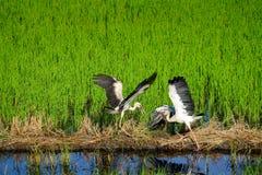 ฺEgrets fly in the field Royalty Free Stock Images