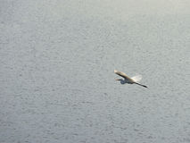 Egrets fly Stock Image