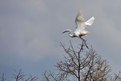 Egrets fly Royalty Free Stock Photos