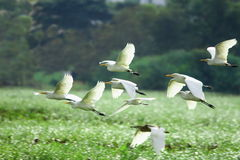 Egrets Flying Stock Image