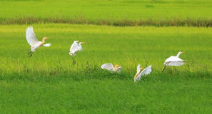 Egrets Flying. A flock of egrets flying on the green rice field Royalty Free Stock Images