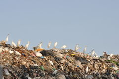 Egrets on the garbage heap Stock Image