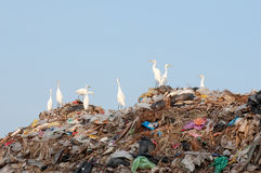 Egrets on the garbage heap. Many egrets on the garbage heap Stock Photography