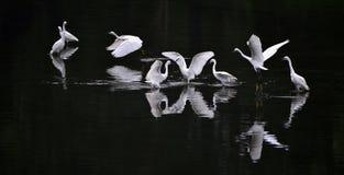 Egrets Stock Photos