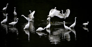 Egrets Stock Photos