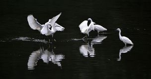 Egrets Royalty Free Stock Images